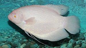 Giant gourami - Albino giant gourami