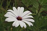 Osteospermum ecklonis flower (Réunion).jpg
