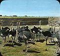 Ostriches (4750360156).jpg