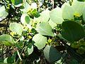 Osyris lanceolata, loof en blomme, b, Seringveld.jpg