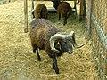 Ouessant-Sheep.jpg