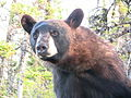 Ours noir très proche.jpg
