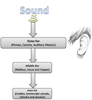 Neuronal encoding of sound - Flowchart of sound passage - outer ear