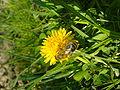Pčela na maslačku 4.JPG