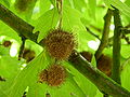 P1000336 Platanus orientalis (Oriental Plane) (Platanaceae).JPG