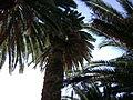 PANAYOUDHA PALM FOREST.JPG