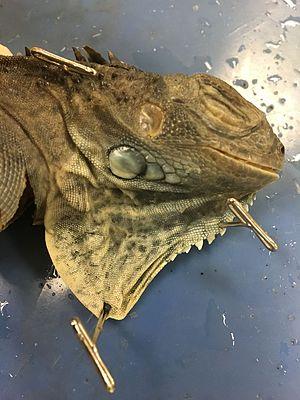 Iguana - Green iguana cadaver, with dewlap extended.