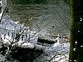 POL-Rezerwat przyrody Buczyna nad Słupią 046s.jpg