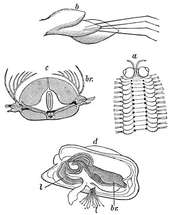 PSM V20 D466 Gills of annelida and of a bivalve mollusk.jpg