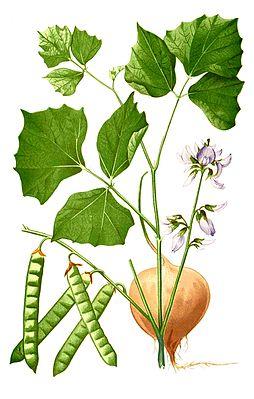 Yam bean (Pachyrhizus erosus), illustration