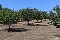 Packard apricots.jpg