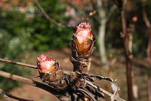 Peony - Image: Paeonia suffruticosa buds