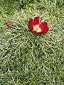 Paeonia tenuifolia 1214981795.jpg