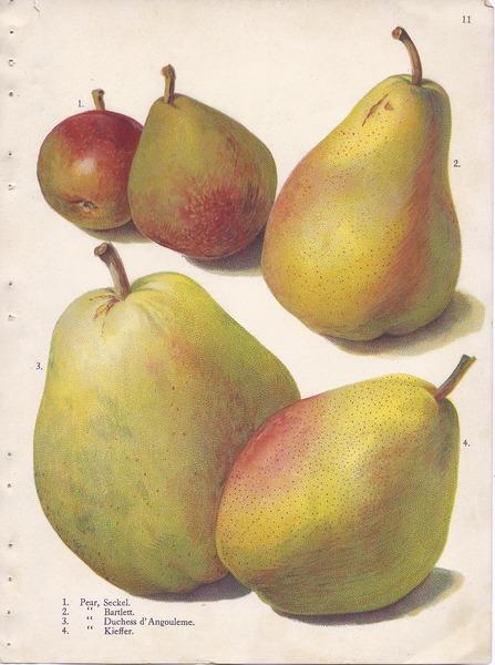 File:Page 11 pear - Seckel, Bartlett, Duchess dAngouleme, Kieffer.tiff