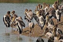 Painted Stork (Mycteria leucocephala) at Uppalapadu W IMG 8615.jpg