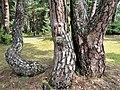 Palanga Botanical Park. 2018. Tree trunks(2).jpg