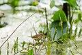 Palm warbler (25008288725).jpg