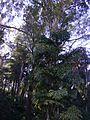Palmeiras e eucaliptos.jpg