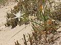 Pancratium maritimum Formentera 3.jpg