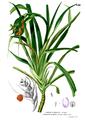 Pandanus humilis Blanco2.446.png