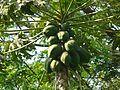 Papaya (2349291190).jpg