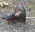 Papilio bianor dehaanii male s2.JPG