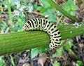 Papilio machaon.2.jpg