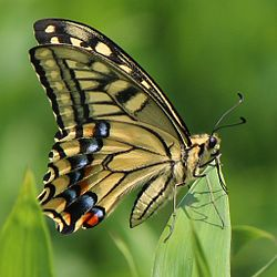 Papilio machaon on grass.JPG