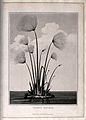 Papyrus reed (Cyperus papyrus L.); clump of reeds in water. Wellcome V0043089.jpg