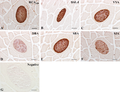 Parasite160010-fig3 - Lectins in Paralichthys olivaceus infected by Kudoa septempunctata - Lectin histochemistry.png
