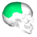 Parietal bone lateral2.png