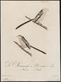 Parus caudatus - 1800-1812 - Print - Iconographia Zoologica - Special Collections University of Amsterdam - UBA01 IZ16100171.tif