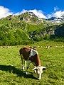 Pascolo (Alpe Veglia).jpg