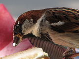 Passer-domesticus-sparrow-male-closeup-0b.jpg