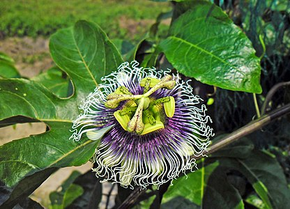 Passiflora edulis, or the common, Passion Fruit flower flowering in full bloom in Hong Kong, China