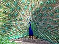 Peacock Milwaukee County Zoo.jpg