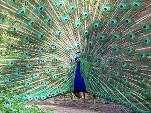 Peacock displaying his feathers at the Milwauk...