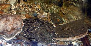 Pecten maximus - Live individual of Pecten maximus on the right, next to Ostrea edulis
