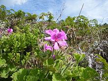 Pelargonium cucullatum Contour Path Rhodes Mem.JPG