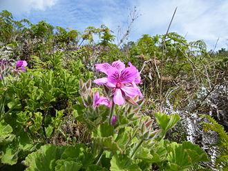 Pelargonium - Pelargonium cucullatum