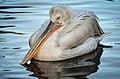 Pelecanus crispus (Dalmatian Pelican - Krauskopfpelikan) - Weltvogelpark Walsrode 2012-01.jpg