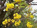 Peltophorum africanum, blomme, Blouberg NR, a.jpg