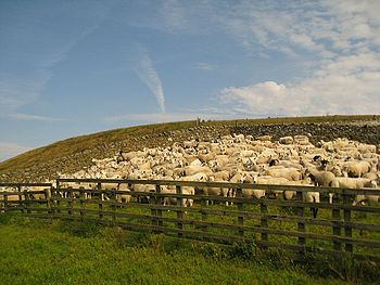 English: Penned in tight! These skittish sheep...