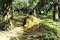 Perkebunan kelapa sawit milik rakyat (36).JPG