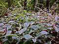 Persicaria virginiana - Jumpseed.jpg