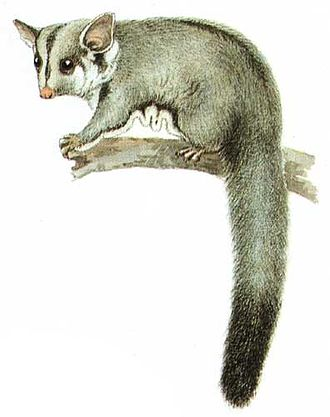 Sugar glider - Illustration by Neville Cayley