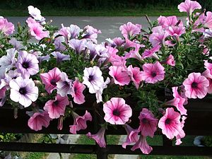 ABC model of flower development - Flowers of Petunia hybrid.