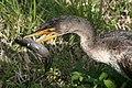 Phalacrocorax auritusPCCA20060128-2198A.jpg