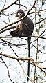 Phayre's leaf monkey portrait.jpg