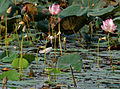 Pheasant-tailed Jacana (Hydrophasianus chirurgus)- Breeding in an Indian Lotus (Nelumbo nucifera) Pond in Hyderabad, AP W IMG 7575.jpg